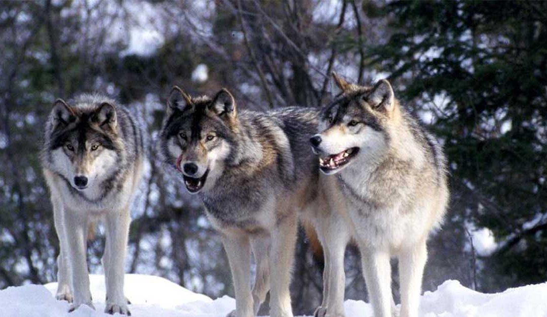 ¿Cómo pueden los lobos cambiar el curso de un río?